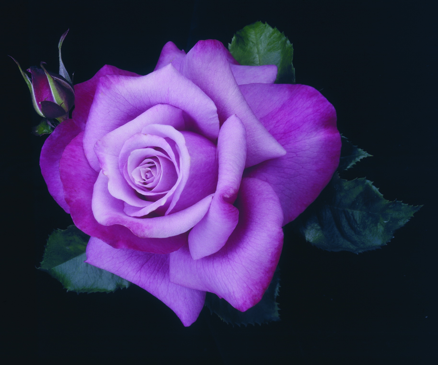 Purple Roses Background Images: Index Of /image/GPlus/Purple Rose